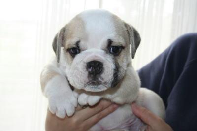 ブルドッグの子犬オス、生後6週画像