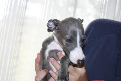イタリアングレーハウンド(イタグレ)ブルー&ホワイトの子犬メス、生後2ヶ月画像
