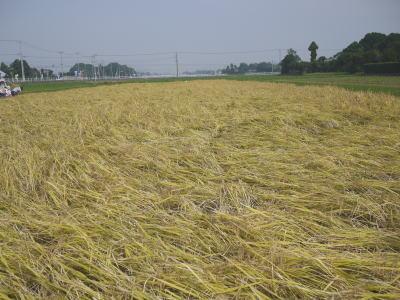 千葉県長生村アイガモ農法画像