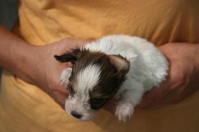パピヨン白茶(ホワイト&レッド)の子犬オス、生後1ヶ月画像