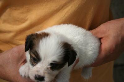 パピヨン白茶(ホワイト&レッド)の子犬メス、生後1ヶ月画像