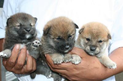 柴犬赤の子犬オス、生後4週間画像