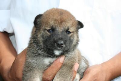 柴犬赤の子犬メス、生後4週間画像