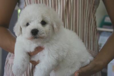 ビションフリーゼの子犬オス、生後40日画像