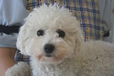 ビションフリーゼの成犬メス母犬画像
