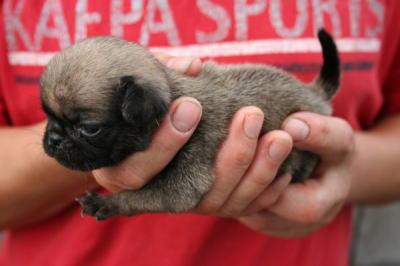 パグフォーンの子犬メス、生後3週間画像