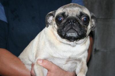 パグフォーン成犬メス画像