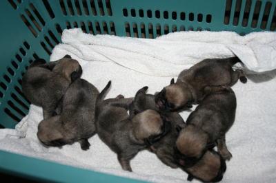 パグフォーンの子犬オスメス、生後3日画像