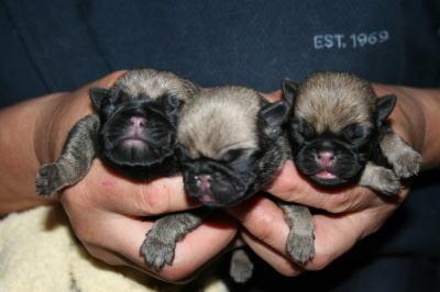 パグフォーンの子犬オス、生後3日画像