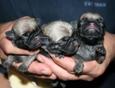 パグフォーンの子犬メス、生後3日画像
