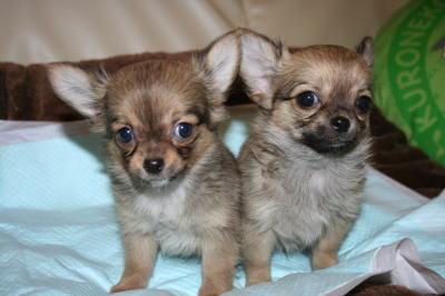 チワワフォーンの子犬メス2頭、生後2ヶ月画像