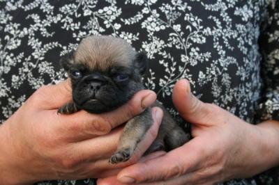 パグフォーンの子犬オス、生後3週間画像