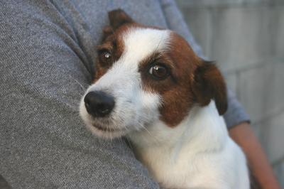 ジャックラッセルテリア成犬画像