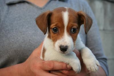 ジャックラッセルテリアの子犬スムース、生後50日画像