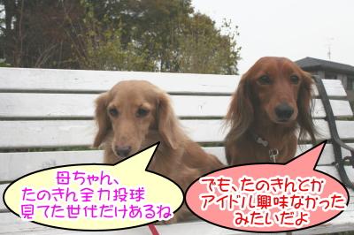 ミニチュアダックスレッドとクリーム成犬、ペットホテルお預かり画像