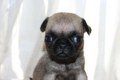 パグフォーンの子犬メス、生後6週画像