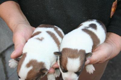 ジャックラッセルテリアの子犬オス、生後2週間画像