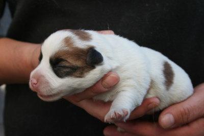 ジャックラッセルテリアの子犬メス、生後2週間画像