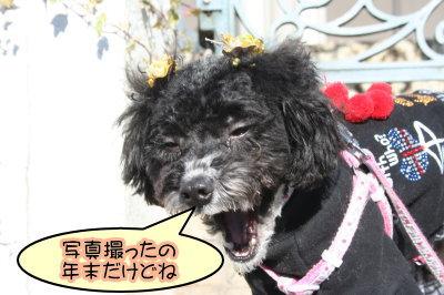 トイプードル白黒パーティー成犬画像