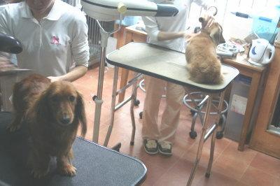 ミニチュアダックスレッドとクリーム成犬、トリミング画像