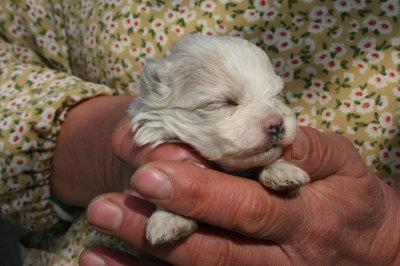 マルチーズの子犬メス生後3週間画像