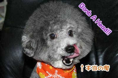 トイプードル白黒パーティーカラー成犬画像