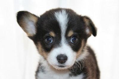 ウェルシュコーギートライカラーの子犬メス、生後50日画像