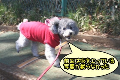 トイプードルシルバーメス成犬画像