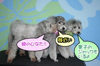 トイプードルシルバーオスメス成犬画像