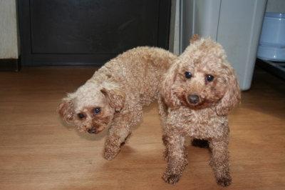 トイプードルレッド犬の交配、AMCHライダー画像