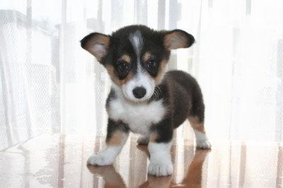 ウェルシュコーギートライカラーの子犬メス、生後3ヶ月画像