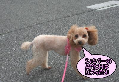 ペットホテル、トイプードルレッドの成犬メス画像