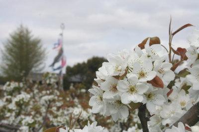 梨の花画像