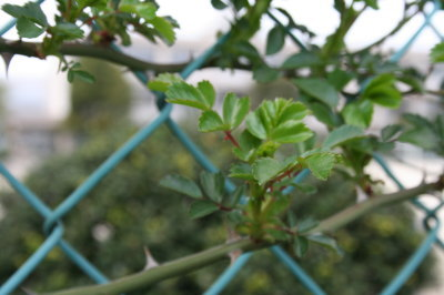 バラの葉画像