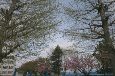 春の銀杏の木画像
