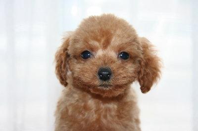 ティーカッププードルレッドの子犬メス、生後2ヶ月画像