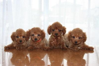トイプードルレッドの子犬メス姉妹4頭、生後2ヶ月画像