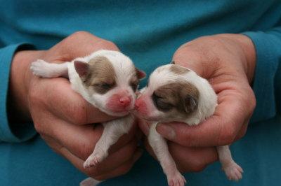 ポメラニアン白茶パーティーカラーの子犬メス、生後1日画像