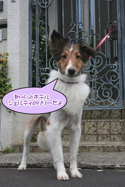 シェルティー成犬メス画像