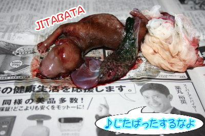 トイプードルレッド犬の出産(お産)画像