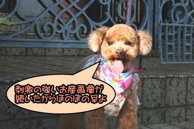 トイプードルレッドメス成犬画像