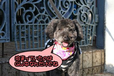 トイプードルブラック(黒色)メス成犬画像