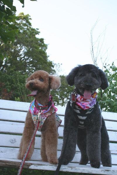 トイプードルレッドメスとブラック(黒色)メス多頭飼い画像