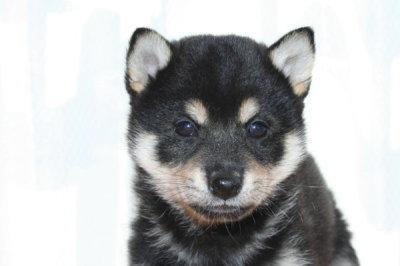 柴犬の黒の子犬オス、生後2ヶ月画像