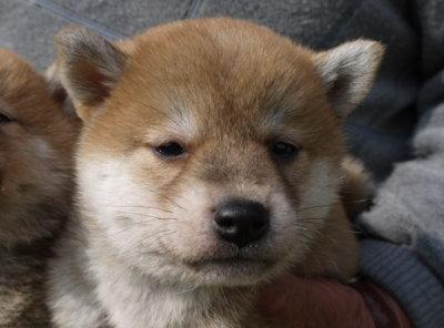 柴犬の茶色(赤)の子犬メス、生後45日画像