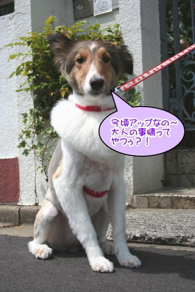 シェットランドシープドッグ成犬メス画像