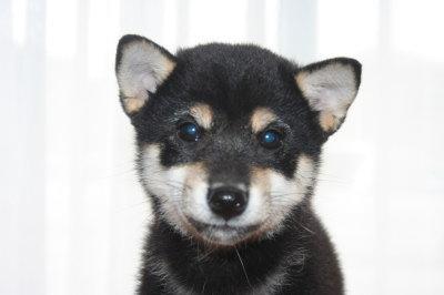 柴犬の黒色の子犬オス、生後2ヶ月半画像