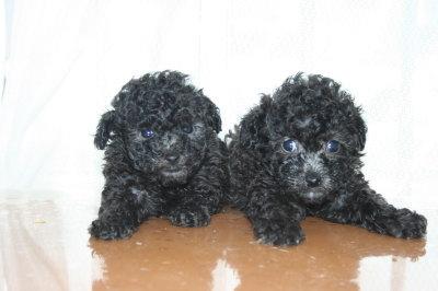 トイプードルシルバー(グレー)の子犬オスメス、生後6週間画像