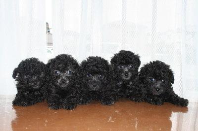 トイプードルシルバー(グレー)の子犬オス2頭メス3頭、生後6週間画像