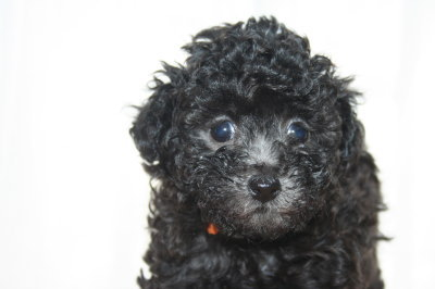 トイプードルシルバー(グレー)の子犬メス、生後6週間画像